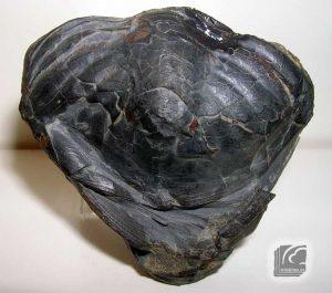 Ogyginus forteyi  pigidio 1