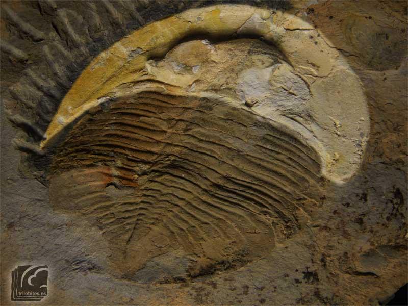 Cefalón de Nobiliasaphus nobilis