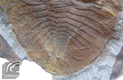 Pigidio Nobiliasaphus nobilis