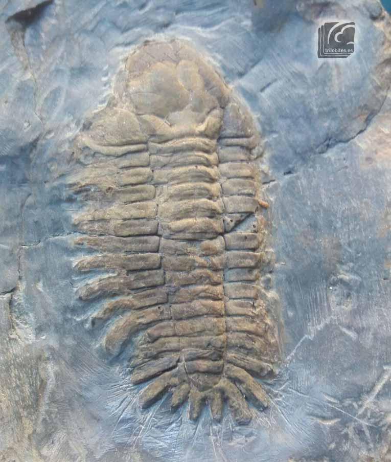 Eccoptochile almadenensis
