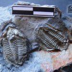 Bathycheilus castilianus