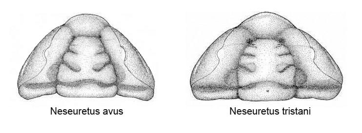 Croquis de cefalones pertenecientes a Neseuretus avus y tristani. Dibujo de Hammann.