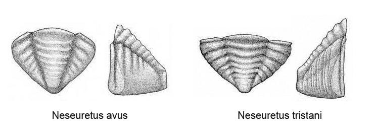 Croquis de pigidios pertenecientes a Neseuretus avus y tristani. Dibujo de Hammann.