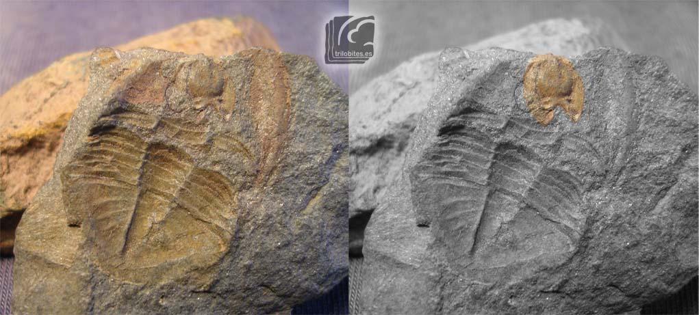 Hipostoma de Isabelina glabrata. En la imagen se muestra un negativo de Isabelinia glabrata que conserva en su posicion original el hipostoma (ligeramente girado).